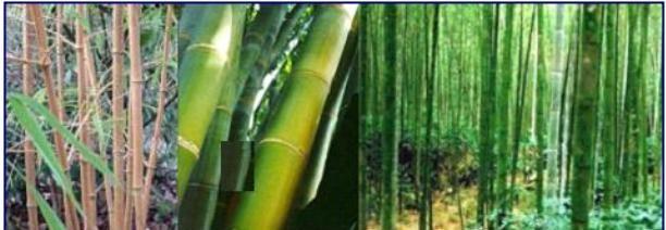 bambu bitkisi e1500478062104