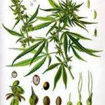 kenevir-bitkisi