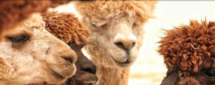 alpaka develeri