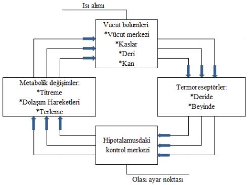 insan vucudunun termogulasyon mekanizmasi